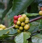 El cultivo del café en España